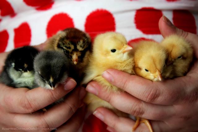 #vintage #chicks #chickens #hatchingchickens #bufforphington #americana