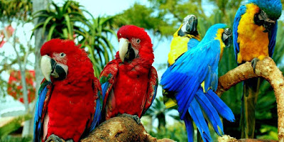 Pet Macaws In Singapore