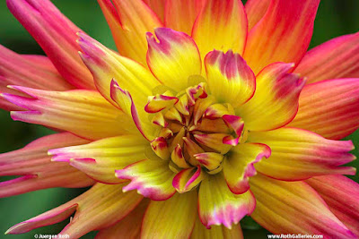 Dahlia Garden Flower Photography