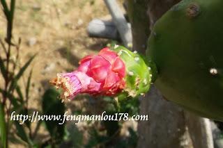 仙人掌花蕾
