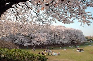 Mekarnya Sakura di Negishi Shinrin Park Yokohama Jepang