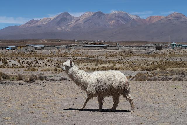 Llama peruana en las montañas de Arequipa