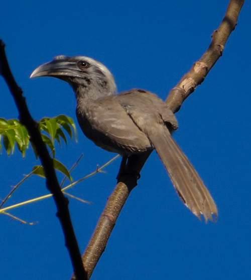 Picture of Indian grey hornbill - Ocyceros birostris