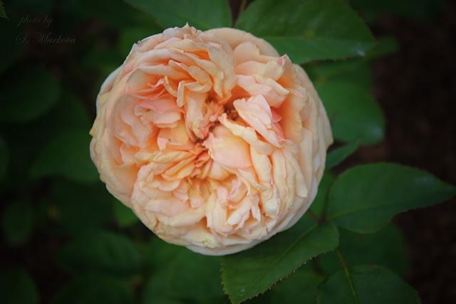 krasotka-roza