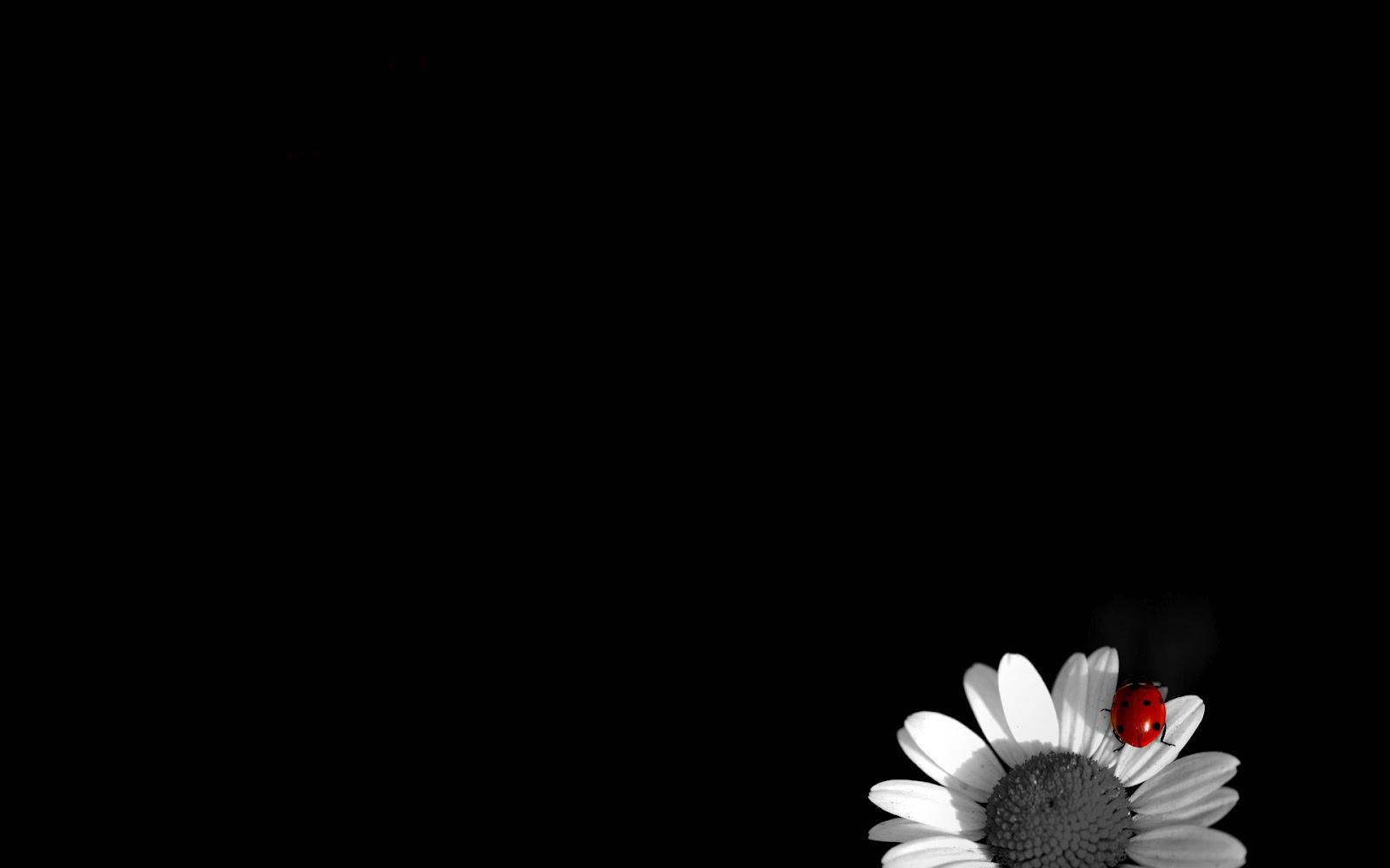 Daisy Flower Black And White Wallpaper Siyah Arkaplan HD Resi...
