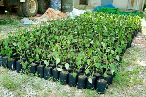 ชุมพรซีลอน จำหน่ายต้นกล้า กิ่งพันธุ์ พริกไทยซีลอนแท้ 100%
