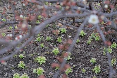 生坂村の春の知らせ 梅と蕗の薹