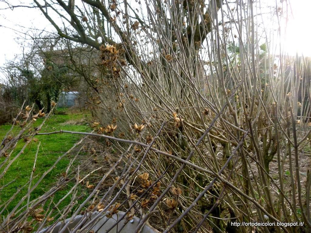 L 39 orto dei colori hibiscus syriacus for Ibisco in inverno