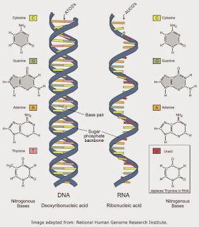 PERBEDAAN DNA DAN RNA DALAM TABEL LENGKAP