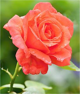rosa-de-petalos-de-color-naranja