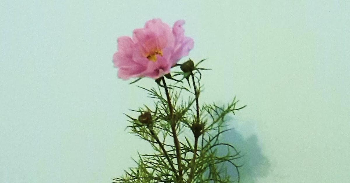 la ventana de javiruli: cosmos del japÓn (cosmos bipinnatus