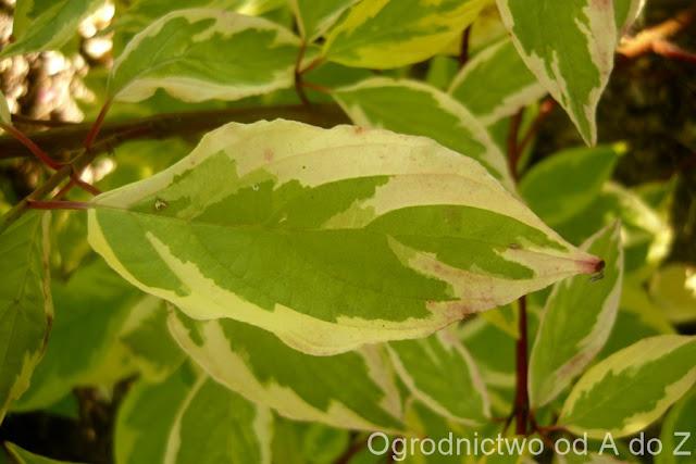 Cornus alba 'Gouchaultii'