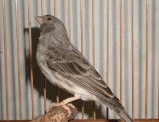 cara merawat burung sanger agar cepat gacor