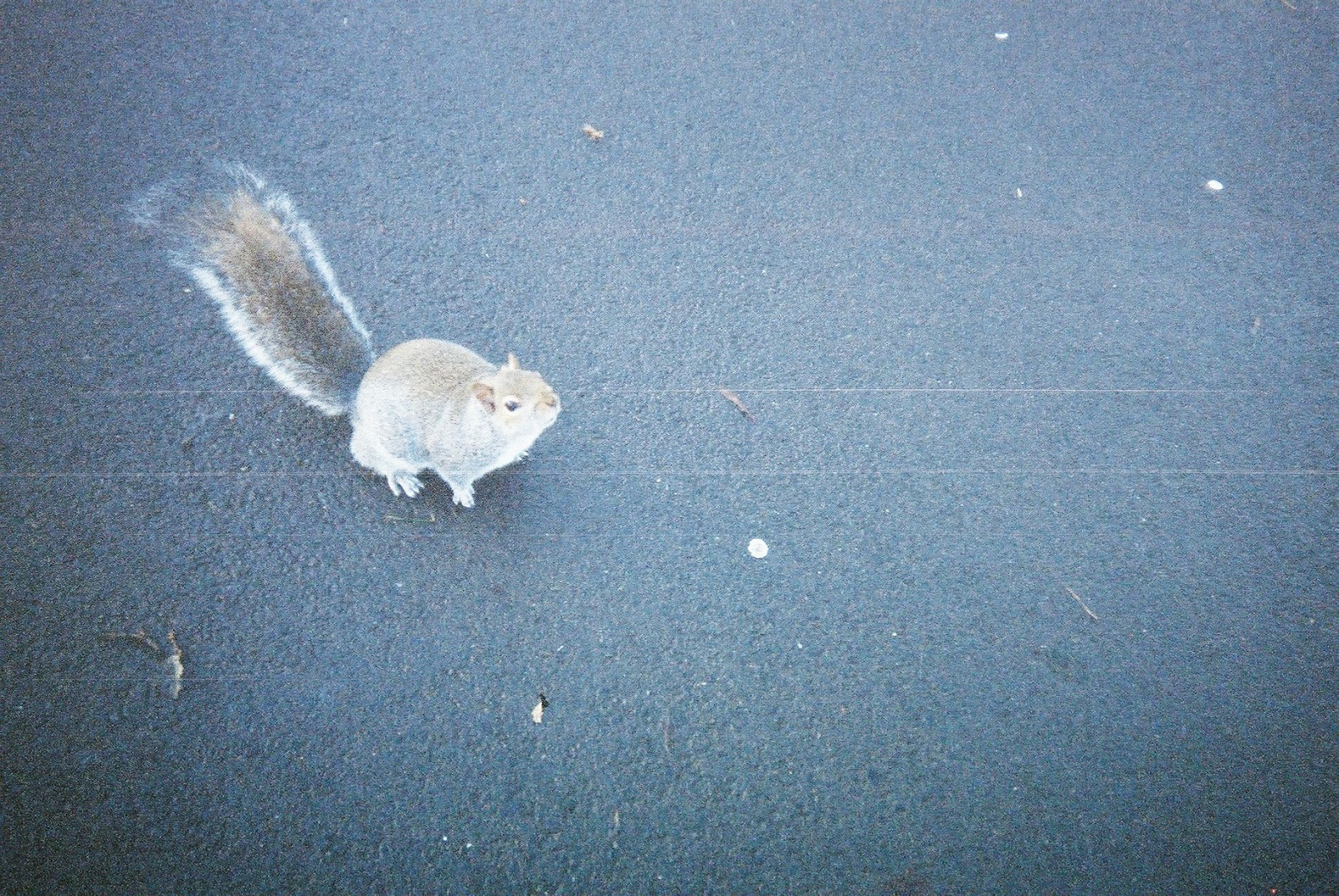 A squirrel on a park path, looking up near to the camera.