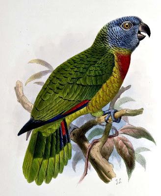 amazona gorgirroja Amazona arausaica