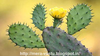 काँटेदार पौधों का घर मे होना या उसकी तस्वीर का होना भी अशुभ माना गया है। गुलाब के पौधे की तस्वीर भी घर मे नहीं होनी चाहिए।