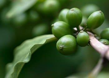 Как пить зеленый кофе, чтобы похудеть