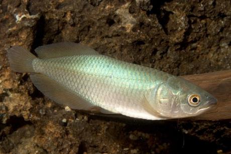 Arwana nil ikan hias air tawar