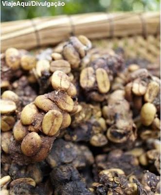 Jacu Bird Coffee, jacu, café de jacu, café feito das fezes de jacu, bird coffee, Fazenda Camocim, café camocim, café mais caro do mundo, coffee,  café raro, blog natureza e conservação, aves do brasil
