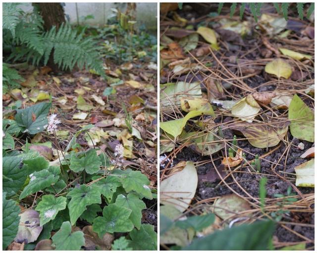 Schneeglöckchen treiben aus und Schaumblüte blüht