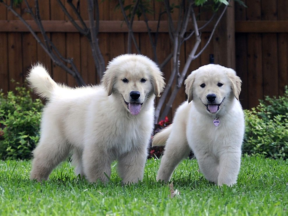 Cute&Cool Pets 4U: Golden Retriever Puppy Pictures