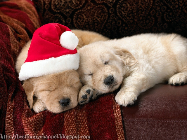Two Christmas puppy