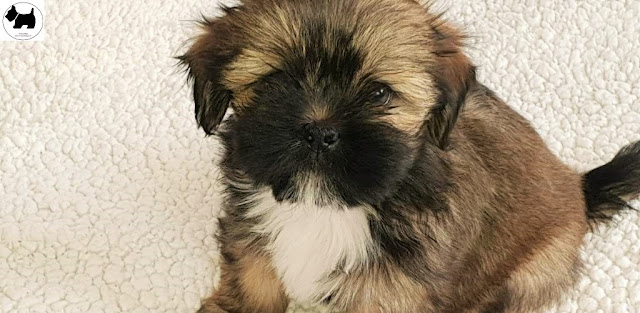 Cutest Dog Breeds, Best Dog, Lhasa Apso Dog puppies