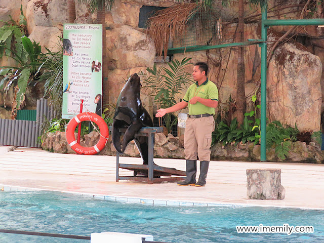 sea lion performing at zoo negara