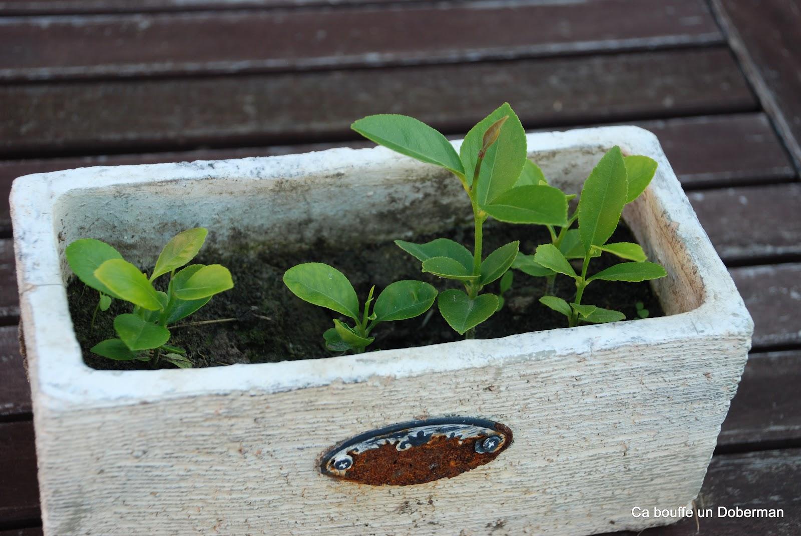 Comment Cultiver Un Citronnier En Pot planter un citronnier en pot