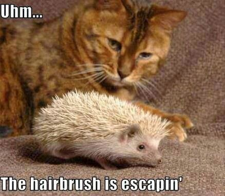 Funny Cat Hairbrush Escaping Hedgehog Joke Picture