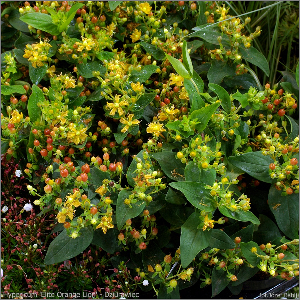 Hypericum 'Elite Orange Lion' - Dziurawiec 'Elite Orange Lion' pokrój