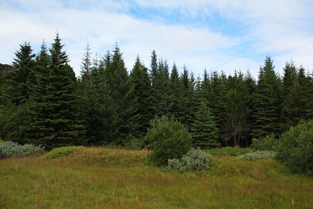 Uno de los pocos bosques de Islandia se encuentra en Þingvellir