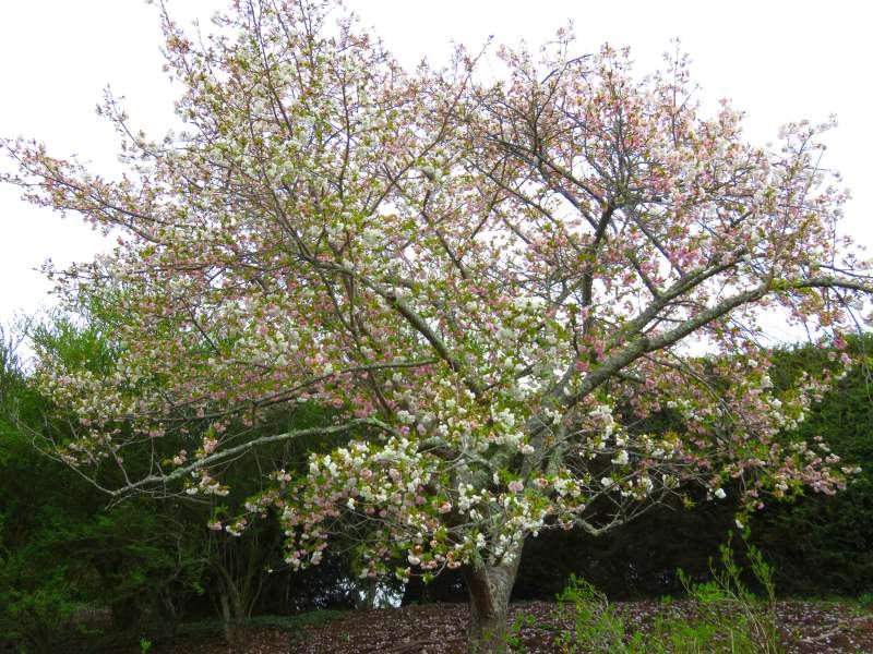 Blossom tree at Biltmore