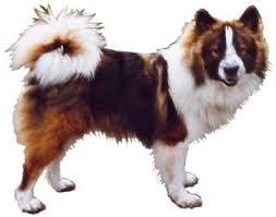 Anjing Ras Elo