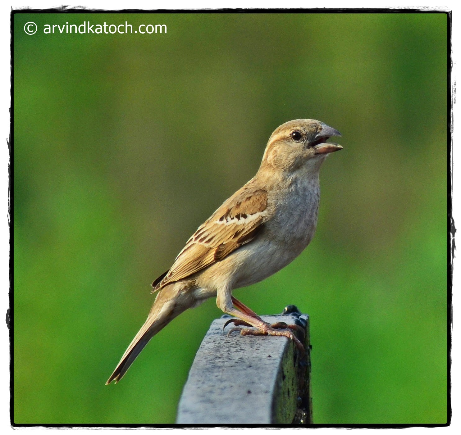 House Sparrow, Female,