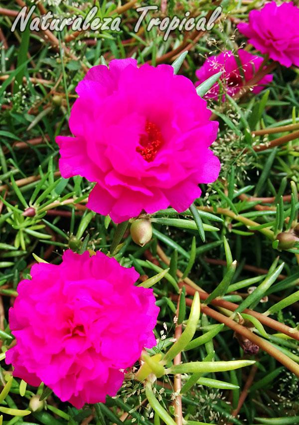 Flor de la planta Diez del Día (Portulaca pilosa)