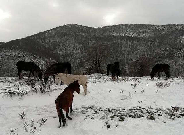 Σε αναζήτηση τροφής τα άγρια άλογα στα χιονισμένα βουνά της Ροδόπης