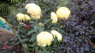 Common Peony Flower 2108