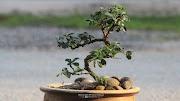 Pokok bonsai Fukien Tea dan close up Bunganya