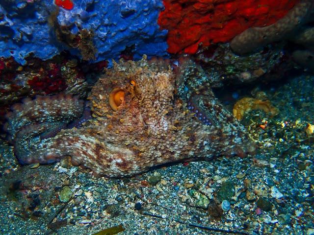 Octopus vulgaris - Pieuvre commune