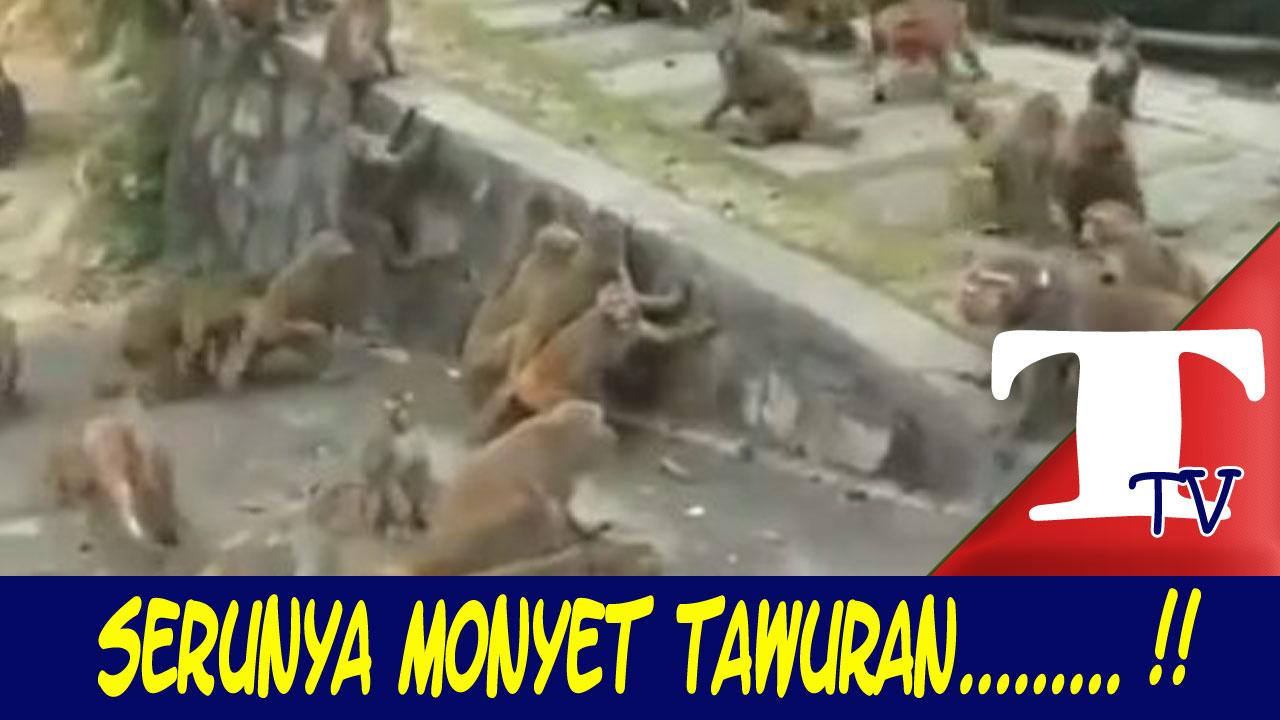 Serunya Monyet Tawuran Antar Geng Lucu Dan Menegangkan Kartu
