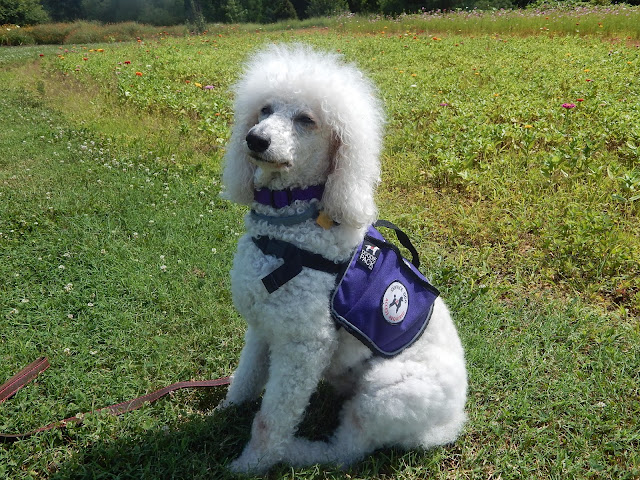White standard poodle sitting down wearing a purple backpack with #ServiceDog patch- #CarmaPoodale