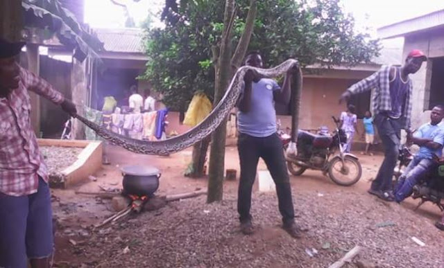 PHOTO: Huge Python Killed In Lagos