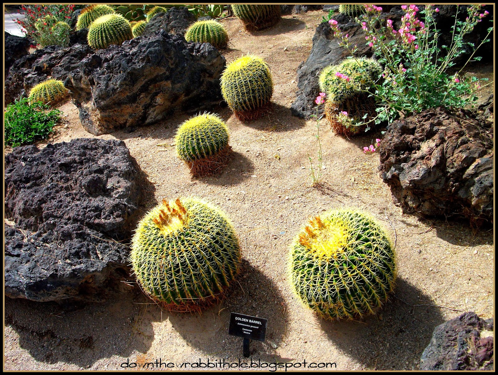 Some Pumpkin Shaped Cacti In Ethel Mu0027s Botanical Garden!