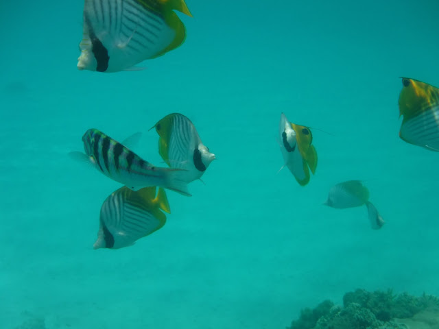 Some of the fish you will see when snorkelling in Tokashiki