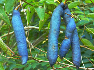 dead man's fingers fruit images