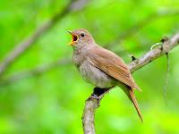Membedakan Burung Sikatan Londo Jantan dan Betina