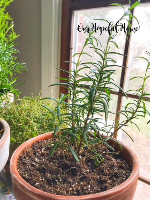 rosemary herb plant terra cotta clay pot window