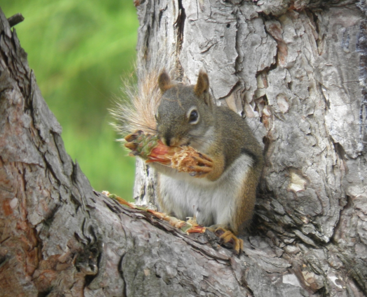 Squirrels are vegetarians, and love nuts, seeds, and ...   Baby Squirrel Diet
