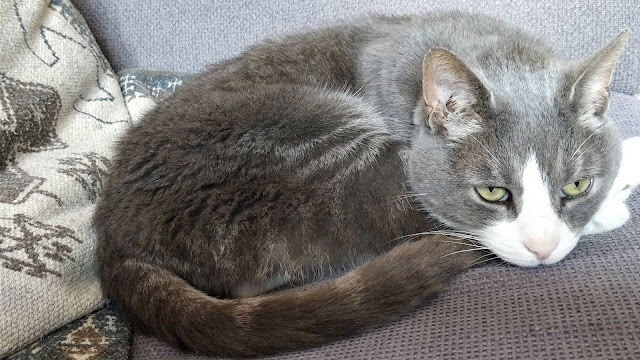 grey and white tabby cat
